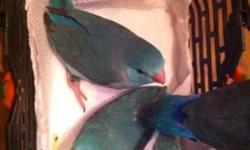 """Why a Parrotlet? They are the smallest parrots in the world and have so much character! They are silly, fun and can learn to speak! They don't take up a lot of room and are easily entertained. They are known as """"apartment birds"""" because they are so quiet!"""