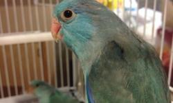 FOR SALE. Young parrotlets for breeding male and female available. Greens - 60 each --- 110 for pair. Blues- 70 each --- 130 for pair. Breeding kings cages brand new available and nest boxes. Whole set up to breed available. Get them while still available