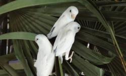 American White Parrotlet babies. Adult breeding pairs also available. Ask me about pricing.