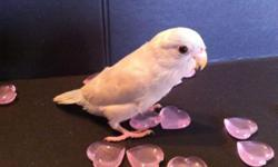 Pacific Parrotlets! So sweet and tame! American whites, yellows, blues, greens, pieds Males and Females Many ready to go home Now & More hatching!
