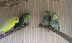 These are beautiful parrotlets the yellow and green are the parents and we are selling the two male babies that are on the right side there feathers are just growing. $60 for each and if you take both it will be $110 This ad was posted with the eBay