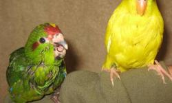 lots of blue/pied parrotlets and kakariki many colors, handfed and hand tamed for sale,,, call for appointment to view them and you can reach me by calling or texting me @ 619-316-1007. Price range start from $125 to ?????? depends on mutation.