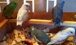 All parrotlets are ready to go home now. we take credit cards. Please contact me for more information if interested. Thank You! PA 18301 https://www.facebook.com/PoconoAna