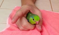 Parrotlets babies hand feeding, green split to Lutino, please call