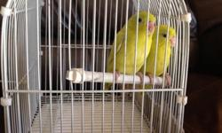 Parrotlets babies already weaned, yellow split to blue and Lutino very tame ready to new home, please only phone call