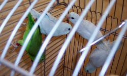Hand fed parrotlets. these babies were hatched in may and were hand fed. they are closed banded 2013. Parrotlets are the worlds smallest parrot. They do not scream like other parrots instead they make a chirping chatter noise. Sometimes referred to as