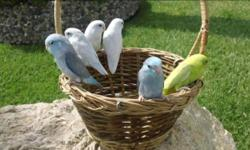 Revised: Only have 3 birds left! For sale 3 parrotlet females. American yellow and 2 American whites. $100 each.