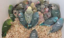 Some Lovebirds & Parrotlets available. NOT ONLY HAND TAME BUT ALSO HAND FED. I can only let go of weaned birds. UNWEANED babies NOT availble. Email & calls only, NO TEXT (714)414-5123 Shonnie.