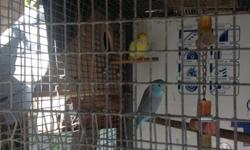 Parrotlets pair young ready to breed. Female is yellow, male is blue please call at