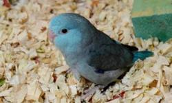 We have so many sweet, tame, beautiful baby parrotlets. Yellows, Blues, Greens, Pieds, American whites $250 each baby . Some are ready to go Home now. All babies require a $50 deposit to hold. The ones ready to go now ill hold for Up to 1 Week with a $50
