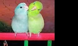 Beautiful Pairs.Two Blue and Green pairs for $200.00 each pair.One Yellow and Green for $225.00 and another Pair Yellow and Blue for $250.00.Also have a Beautiful little Blue Baby six months old for $125.00.Can ship through United Pet Safe if needed.For