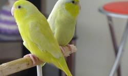 parrotlets yellow pastel one years old this is beautiful bird.it is hand fed.and its health. if you are interested give me a call at 818-545-8102