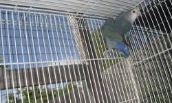 A pair of parakeets one blue and one green. white face blue lovebirds, and white face and regular pearl cockatiels. only the cockatiels are hand tame and there is no cage included unless you are willing to buy one. Tame cockatiels $50. ea. Parkeets $20.