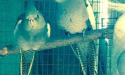 Weaned Pastel Emerald Tiel. Not hand fed. Parent raised. On the left of the photo. The father is on the right.