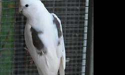 Pastelface heavy pied and whiteface heavy pied young adult cockatiels ready for rehome. Call or text to check availability.