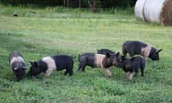 I have 12 pastured Hampshire, 6 Barrows and 6 Gilts , teeth clipped and castrated. Born March 7th North of stillwater.