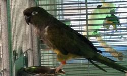 Patagonian Parrot, call 619-434-3207 for more information or visit us at Arrieros Pet Shop 9531 Jamacha Blvd. Spring Valley, Ca 91977