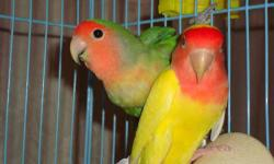 I have peach face lovebird. they are healthy. They're looking for new home. All is male.They're 2-4 years old.. I ask $ 45.00 for each bird.