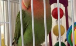 I have peach faced Love Bird with green body. the bird is around six to seven month old. Gender is unknown. No shipping. Cage not included. If you are interested, please email me.