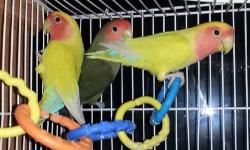 Peachface lovebirds. All are 1 year old. They are not tamed. There is a rehoming fee of $75 each. For more info Email Or call or text to 440-251-5365 This ad was posted with the eBay Classifieds mobile app.