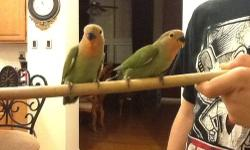 I currently have 3 lovebirds available. One is regular green and the other two are lutinos(yellow with red face). They are about 10 weeks old. I do not know their gender. Very cute and tame. The last photo shows what they will look like when they are