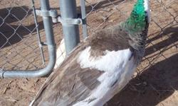Indian Blue Pied in color, Peahen, already laying eggs. $100 cash or Paypal.