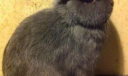 I have purebred show quality netherland dwarf rabbits for sale. These animals come from a happy healthy rabbitry, and are show quality bunnies. I have the following for sale; Black Otter buck(1yr)$50 VM chestnut buck(1yr)$50 Black otter doe (2yrs) $50