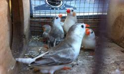 Penguin zebra finch males and females some is proven other are ready to bread. Hablo español. This ad was posted with the eBay Classifieds mobile app.