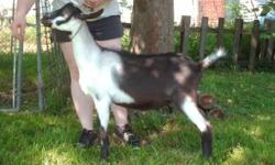 She was born March 10, 2016. and she was a bottle baby and she is friendly and tame. not registered and she is an Alpine