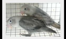 i am also willing to trade pied black masked for parrotlets or lineolated parakeets (linnies). Please contact if interested or for price