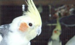 I have two pied male cockatiels. They are both proven, very large and great parents. I need to remove them from the aviary as I have to many males and they dominate the females over the young males I purchased.