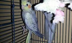 Beautiful pair (pictured) for sale: ?Marco? is a silver pied male in beautiful feather. Exact age unknown--closed band says 08 and 01. He was acquired in July 2009 along with his mate, who were successful breeders producing pied and pearl babies until her