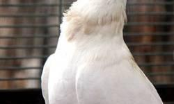 Pigeon - Thunder - Medium - Adult - Male - Bird Thunder is a Fancy Fantail Pigeon. See how fancy he is? He thinks he's very fancy. Yet, he's laidback enough to hang out with pigeons from any walk of life. He's very sociable.   He's a big guy, and would