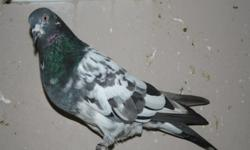 Quality pigeons for sale. Different colors and markings. All pigeons are healthy and well cared for. I can setup pairs. Also have young birds ready to be trained in your loft. Shipping is available. Buyer pays shipping and box fees. Shipping throughout
