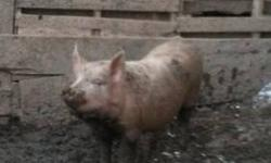I have 3 pigs for sale but there are 4 in the pen. You can have choice of them. We will be keeping 1. They have all been cut and are ready to go. We can not put a price as they are really growing so when you call me I will let you know the price then.