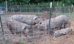 MUST GO ASAP Breeding Trio of Poland China pigs $800.00 CASH OBO 2 sows(females),1 boar(male) You will have to pick them up and load them. We are located in Lafayette,TN 37083 TEXT ONLY 615-543-8642