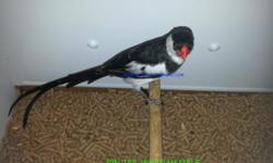 I have Pin-Tail Whydah Pairs for $30.00 each pair. We have shipping available for as low as $50. We accept PayPal, Debit Card and Credit Cards. Visit my page www.facebook.com/forest.wonders www.forestwonders.com