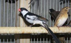 We sell finches wholesale to the Public, no minimum required. Some birds will not yet display full colors and will have Juvenile colors. Looks us up on Facebook (Forest Wonders). We have shipping available via Continental/United and USPS. We accept