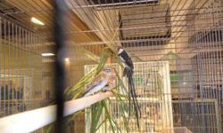 I HAVE PIN TAILED WHYDAH 4 SALE FOR MORE INF PLEASE CALL ROMANO`S PET SHOP 407-340-7841 THANKS.