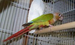 I AM A HOBBY CONURE BREEDER IN BELLA VISTA AR, I HAVE SOME EXTRA BREEDING PAIRS OF PINEAPPLE / CINNAMON CONURES , I NEED TO CUT BACK , ALL ARE YOUNG PAIRS , ALL ARE OF TOP QUALITY . PRICE . $250 PER PAIR , CAUTION ( THESE ARE BREEDING BIRDS, NOT PETS )