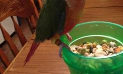 This is a 13 week old Pineapple Conure that was hand fed. This bird is weaned and ready to go. Any questions please contact me.