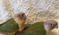 Very Sweet...these babies are hand-fed and nurtured in a home setting and are true companion parrots! Gentle and Loving. Do not miss your chance to share your life with one! Comes with one year limited warranty! CALL 1-844-5PARROT OR 1-844-572-7768