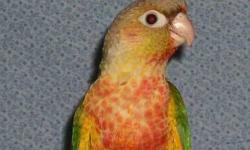 Pineapple Conure pair for sale. Cutting back. Cage and breeder box goes with birds. I have 2 pairs for sale. Text at 405-328-4647.