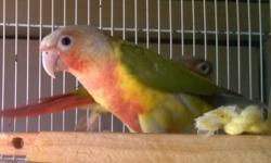I have a few pairs of pineapple conures for sale they are high red they have the DNA surgery I am asking 300 a pair they are all from this year for more information call thanks.