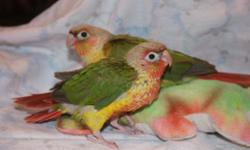We have some beautiful baby pineapple conures available. They are all sweet. We have one, not pictured with high red.