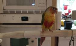 We are accepting deposits for pineapple conure babies. $50 will hold baby till weaned.