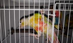 I have 4 weaned and several un-weaned pineapple conures for sale. Weaned $125 Un-weaned $100. David 786-277-0234 FWC Licensed