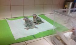Pineapple babies must know how to hand feeding $130.00 each, please call 305-300-2635