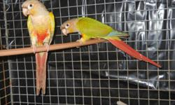 I have a Pineapple pair for $300 and also Cinnamon pair for $250, I have single adult Pineapple & Cinnamon males for $150 each . I will sell pairs with nest boxes .