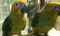 These lovely bird is ready for a new family. Playful Nanday Conure Baby Parrot approximately 16 weeks old. Located at our Bird Store at 1232 Rock Springs Road Apopka, Florida 32712. Come check out our wide selection of Exotic Birds.